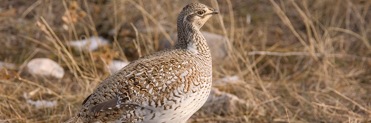 The Sharptail Grouse can also be hunted in and around the Pierre area.