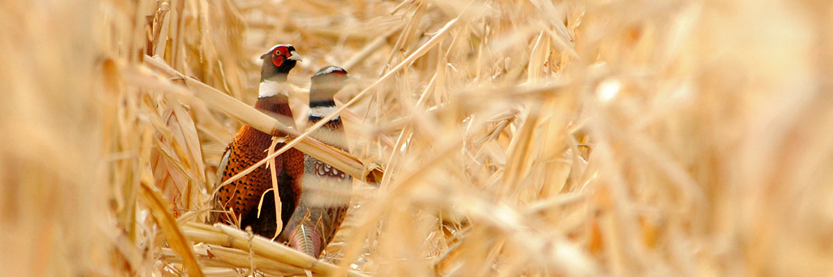 The Chinese Ring-necked Pheasant is the state bird of South Dakota.