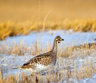 South Dakota Prairie Grouse