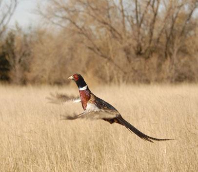 South Dakota Ringneck Pheasant